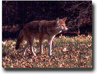 Coyote image from Indiana DNR